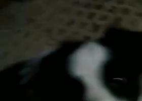 寻狗启示,太原兴华街附近10月19日捡到边牧,它是一只非常可爱的宠物狗狗,希望它早日回家,不要变成流浪狗。