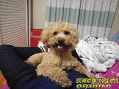 许昌找狗,寻找泰迪狗,10月7日丢失,它是一只非常可爱的宠物狗狗,希望它早日回家,不要变成流浪狗。
