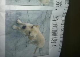 寻狗启示,7个月拉布拉多20日走丢,它是一只非常可爱的宠物狗狗,希望它早日回家,不要变成流浪狗。