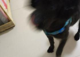 寻狗启示,昨天下雨捡到一只黑色泰迪,请失主速与我联系!!!,它是一只非常可爱的宠物狗狗,希望它早日回家,不要变成流浪狗。