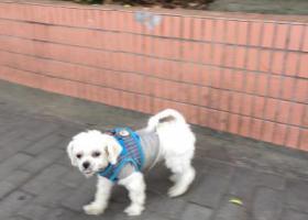 寻狗启示,浦东北艾路锦尊路捡到白色小狗,它是一只非常可爱的宠物狗狗,希望它早日回家,不要变成流浪狗。