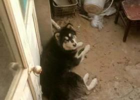 寻狗启示,走失阿拉斯加寻狗主人,它是一只非常可爱的宠物狗狗,希望它早日回家,不要变成流浪狗。