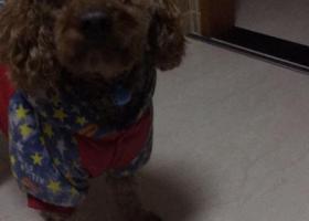 寻狗启示,杭州西湖区寻找2岁贵宾,脖子挂蓝色铃铛,它是一只非常可爱的宠物狗狗,希望它早日回家,不要变成流浪狗。