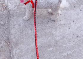 寻狗启示,急寻四个月比熊宝贝  公,它是一只非常可爱的宠物狗狗,希望它早日回家,不要变成流浪狗。