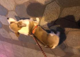 寻狗启示,柯基公狗,体胖乖,10月20日朱家角地铁站捡到的,它是一只非常可爱的宠物狗狗,希望它早日回家,不要变成流浪狗。