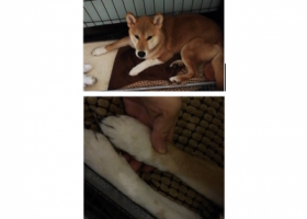 寻狗启示,番禺市桥雍雅园附近跑丢黄色柴犬一只,左手白手党,它是一只非常可爱的宠物狗狗,希望它早日回家,不要变成流浪狗。
