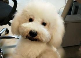 寻狗启示,重庆黄泥磅绿色空间重金寻狗,它是一只非常可爱的宠物狗狗,希望它早日回家,不要变成流浪狗。