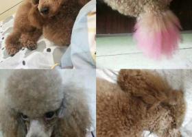 寻狗启示,东莞长安镇东桥市场寻标准体浅啡色贵宾犬有报酬,它是一只非常可爱的宠物狗狗,希望它早日回家,不要变成流浪狗。