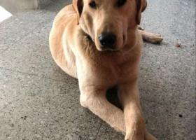 寻狗启示,寻找黄白色拉布拉多公狗成年犬,它是一只非常可爱的宠物狗狗,希望它早日回家,不要变成流浪狗。