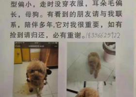 寻狗启示,阜阳市太和县曙光菜市场南头镜湖公园寻找泰迪,它是一只非常可爱的宠物狗狗,希望它早日回家,不要变成流浪狗。