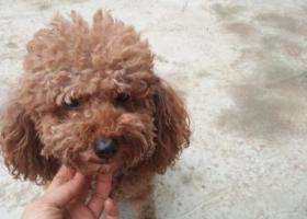寻狗启示,10月12号渔洞捡到泰迪一只,它是一只非常可爱的宠物狗狗,希望它早日回家,不要变成流浪狗。
