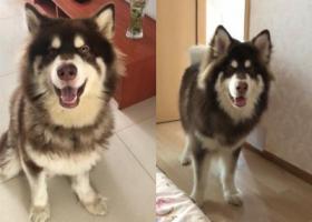 寻狗启示,寻找走丢的棕色阿拉斯加,它是一只非常可爱的宠物狗狗,希望它早日回家,不要变成流浪狗。