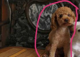 寻狗启示,广州市天河区五山路华晟大厦附近丢失一只泰迪,名字叫发发,有酬谢!,它是一只非常可爱的宠物狗狗,希望它早日回家,不要变成流浪狗。