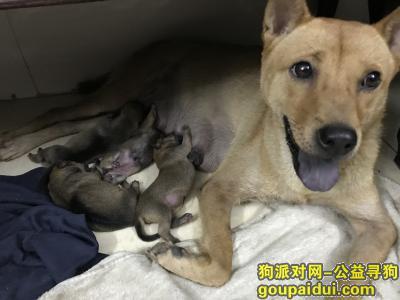 肇庆寻狗,寻土黄色土狗,必定重酬2000起,望好心人关注,它是一只非常可爱的宠物狗狗,希望它早日回家,不要变成流浪狗。