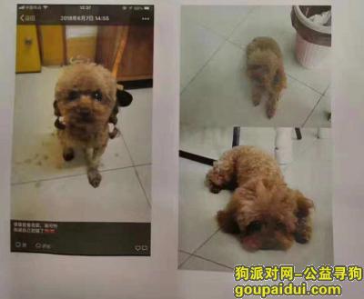蚌埠丢狗,太和县曙光菜市场南头镜湖公园寻找泰迪,它是一只非常可爱的宠物狗狗,希望它早日回家,不要变成流浪狗。