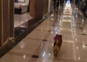 寻狗启示,京巴犬,黄毛,紫色的尾巴,中型犬,24斤,它是一只非常可爱的宠物狗狗,希望它早日回家,不要变成流浪狗。