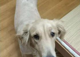 寻狗启示,无锡梁溪区金海里小区附近走失一只雌性金毛,它是一只非常可爱的宠物狗狗,希望它早日回家,不要变成流浪狗。