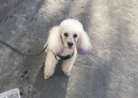 寻狗启示,捡到白色贵宾 有穿小衣服,它是一只非常可爱的宠物狗狗,希望它早日回家,不要变成流浪狗。