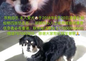 寻狗启示,爱犬走失有知下落者必有重谢微信767062815,它是一只非常可爱的宠物狗狗,希望它早日回家,不要变成流浪狗。