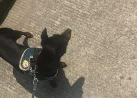 寻狗启示,上海奉贤南桥寻找爱犬!,它是一只非常可爱的宠物狗狗,希望它早日回家,不要变成流浪狗。