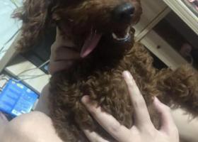 寻狗启示,左脚有点残疾的棕毛泰迪,它是一只非常可爱的宠物狗狗,希望它早日回家,不要变成流浪狗。
