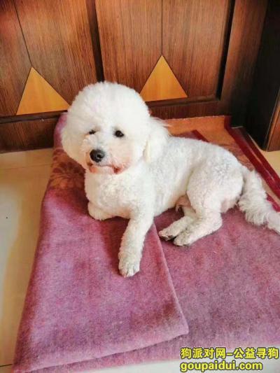 阜新找狗,寻狗 白色比熊 公狗 家人期待你回家,它是一只非常可爱的宠物狗狗,希望它早日回家,不要变成流浪狗。