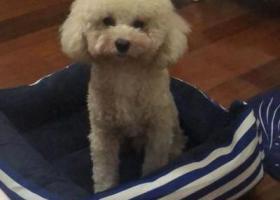 寻狗启示,上海浦东新区张扬路源深路寻找泰迪,它是一只非常可爱的宠物狗狗,希望它早日回家,不要变成流浪狗。