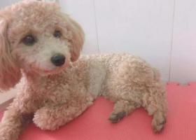寻狗启示,10月26日晚上在龙华白石龙民丰路捡到贵宾母约2岁,它是一只非常可爱的宠物狗狗,希望它早日回家,不要变成流浪狗。