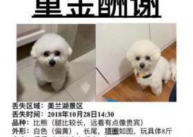 寻狗启示,上海市宝山区美兰湖景区重金寻找比熊,它是一只非常可爱的宠物狗狗,希望它早日回家,不要变成流浪狗。