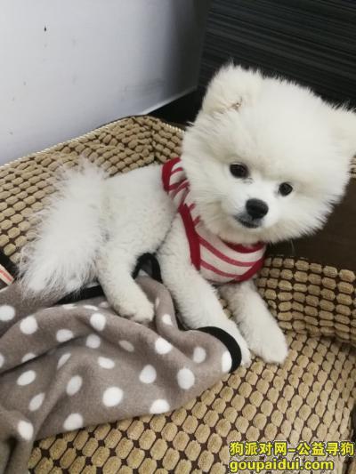 淮北丢狗,3个月白色博美公犬走失,它是一只非常可爱的宠物狗狗,希望它早日回家,不要变成流浪狗。