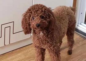 寻狗启示,济南市槐荫区机车新村新区寻找棕色泰迪,它是一只非常可爱的宠物狗狗,希望它早日回家,不要变成流浪狗。
