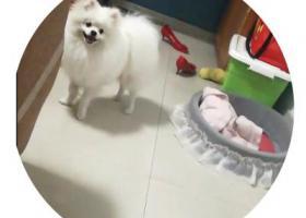 寻狗启示,重金酬谢寻白色博美狗,它是一只非常可爱的宠物狗狗,希望它早日回家,不要变成流浪狗。