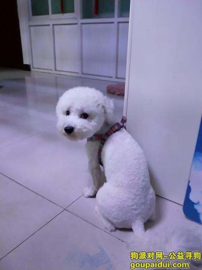 菏泽找狗,寻找比熊犬,于2018年10月28日上午十点五十在义乌小商品市场后边德和驾校附近走失,它是一只非常可爱的宠物狗狗,希望它早日回家,不要变成流浪狗。