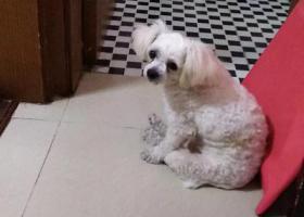 寻狗启示,寻狗 周家嘴路双阳路遗失白色小狗,它是一只非常可爱的宠物狗狗,希望它早日回家,不要变成流浪狗。
