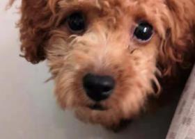 寻狗启示,泰迪狗狗在汕头金平区长兴苑走丢了,它是一只非常可爱的宠物狗狗,希望它早日回家,不要变成流浪狗。