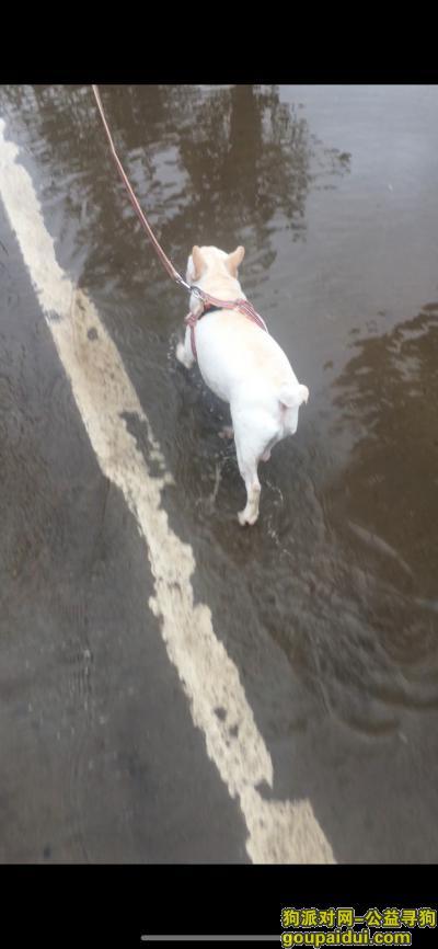 ,七个半月的法国斗牛犬—闹闹,它是一只非常可爱的宠物狗狗,希望它早日回家,不要变成流浪狗。