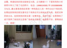 寻狗启示,四川绵阳找白色串串比熊狗狗名字叫金贵喊他有反应,它是一只非常可爱的宠物狗狗,希望它早日回家,不要变成流浪狗。