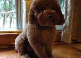 寻狗启示,重庆江北黄泥磅洋河花园走失泰迪母狗已绝育,它是一只非常可爱的宠物狗狗,希望它早日回家,不要变成流浪狗。