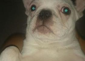 寻狗启示,寻找爱犬 斗牛 名字多多 白色,它是一只非常可爱的宠物狗狗,希望它早日回家,不要变成流浪狗。