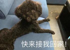 寻狗启示,巴南旭辉捡到黑色泰迪一条,它是一只非常可爱的宠物狗狗,希望它早日回家,不要变成流浪狗。