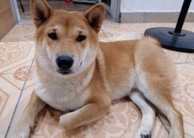 寻狗启示,深圳坪山坑梓柴犬走丢,它是一只非常可爱的宠物狗狗,希望它早日回家,不要变成流浪狗。