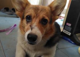 寻狗启示,开发区富民港路走丢的柯基,它是一只非常可爱的宠物狗狗,希望它早日回家,不要变成流浪狗。