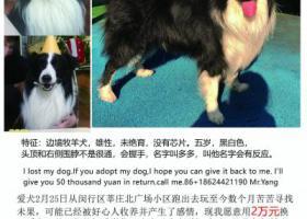 寻狗启示,重金寻找上海闵行丢失的边牧多多!,它是一只非常可爱的宠物狗狗,希望它早日回家,不要变成流浪狗。