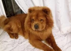 寻狗启示,着急寻找爱犬松狮,酬金2000元以示感谢。,它是一只非常可爱的宠物狗狗,希望它早日回家,不要变成流浪狗。