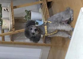 寻狗启示,灰色泰迪于10月31日在温哥华国际花园走丢,它是一只非常可爱的宠物狗狗,希望它早日回家,不要变成流浪狗。