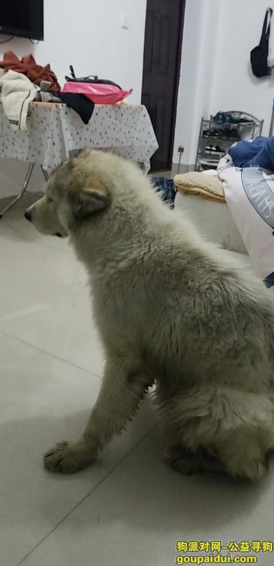温州寻狗主人,温州月乐垟捡到萨摩耶,它是一只非常可爱的宠物狗狗,希望它早日回家,不要变成流浪狗。