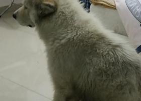 寻狗启示,温州月乐垟捡到萨摩耶,它是一只非常可爱的宠物狗狗,希望它早日回家,不要变成流浪狗。