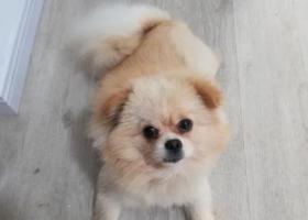 寻狗启示,上海宝山区通南路捡到一只黄色的博美,它是一只非常可爱的宠物狗狗,希望它早日回家,不要变成流浪狗。