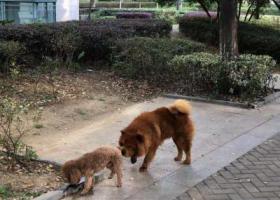 寻狗启示,江宁百家湖西花园谁家走失的松狮,它是一只非常可爱的宠物狗狗,希望它早日回家,不要变成流浪狗。