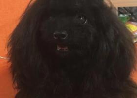 寻狗启示,寻找丢失黑色泰迪小狗,它是一只非常可爱的宠物狗狗,希望它早日回家,不要变成流浪狗。